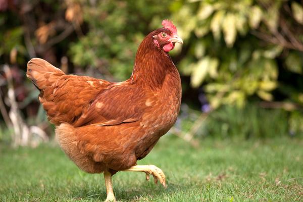 L 39 origine de l 39 oeuf actualit s culinaires - Image d une poule ...