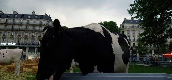 Milk Moments : la vache de la République